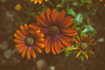 Close up of three eautiful orange Osteospermum ecklonis (spaanse magriet) - flowers in summer
