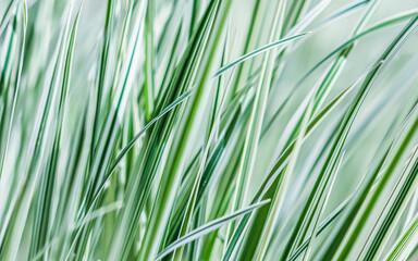 Decorative green and white striped grass. Arrhenatherum elatius bulbosum variegatum. Soft focus....