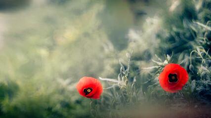 Fototapeta Samotne maki na skraju łąki. obraz