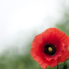 Fototapeta Pojedynczy czerwony kwiat maku. obraz