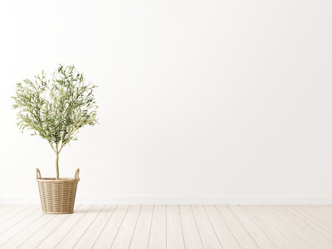 Living room interior wall mockup with green olive tree in wicker basket on wooden floor and empty white background. 3d illustration, 3d rendering