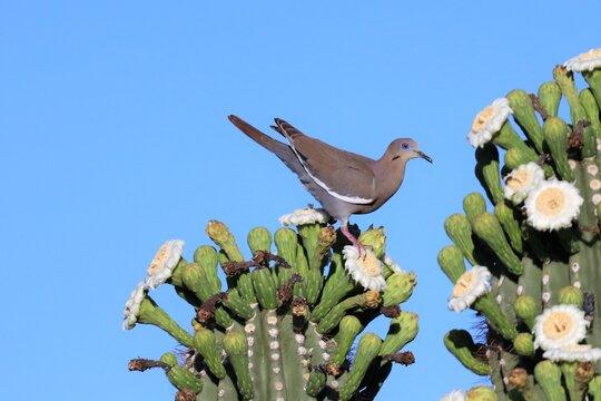 White-Winged Dove on Saguro Cactus Flowers