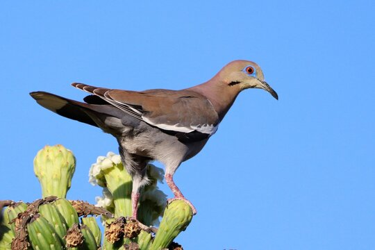 King of the Cactus, White-Winged Dove on Saguaro