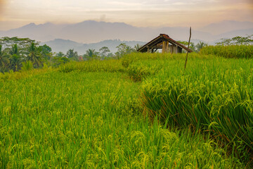 Green terraced rice fields in the morning. Beautiful landscape view on the countryside.