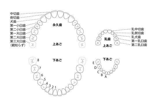 歯の並び 永久歯 乳歯