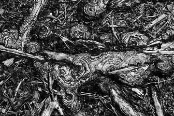 Fototapeta Korzenie drzewa wystające z ziemi obraz