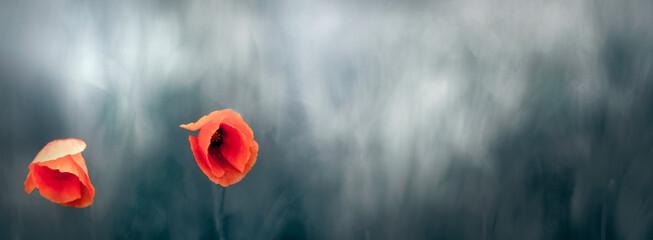 Fototapeta Czerwone piękne kwiaty maków na rozmytym tle zielonej łąki. obraz
