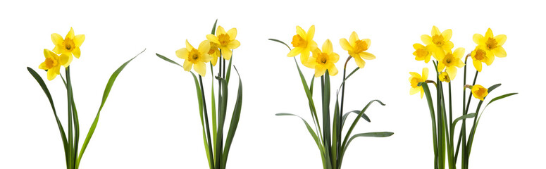 Obraz Set with beautiful yellow daffodils on white background. Banner design - fototapety do salonu