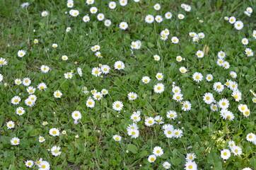 Obraz Stokrotka , pole stokrotek , Stokrotki , pole stokrotek ,kwiat, charakter, daisies, lato, biała, pola, hayfield, kwiat, zieleń, jary, gras, roślin, rumianek, zółty, daisies, kwiat, jardin, rumianek - fototapety do salonu