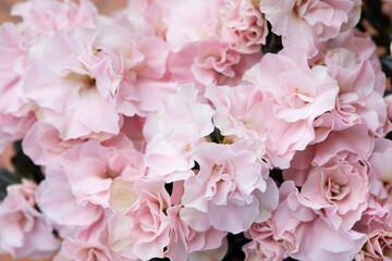 Pink azalea flowers texture background