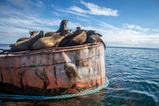 lobos marinos descansando en el mar