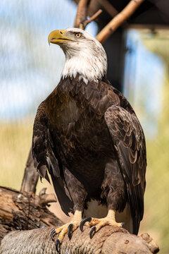 American Bald Eagle at the Phoenix Zoo.