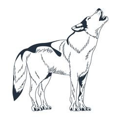 wild wolf animal