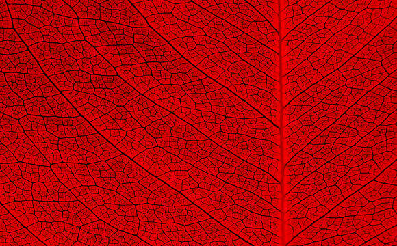 close up vein of red leaves texture
