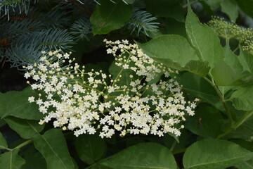 Fototapeta Kwiat czarnego bzu obraz