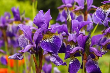 Selective focus shot of purple iris flowers