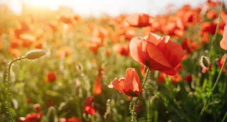 poppy field romantic scene. Romantic horizontal composition for background with shallow depth of field. Sunny summer evening. Red summer time flowers close up. long banner