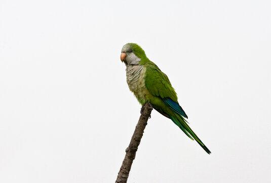 Monniksparkiet, Monk Parakeet, Myiopsitta monachus
