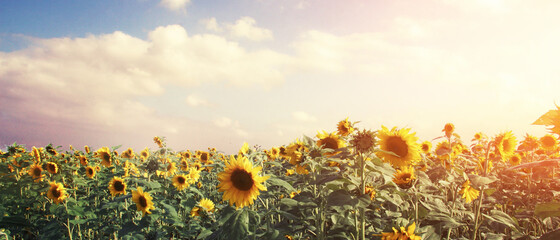 Obraz Wunderschöne Sonnenblumen - fototapety do salonu