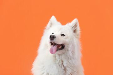 Cute Samoyed dog on color background - fototapety na wymiar