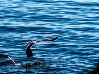 Pacific Gull Landing