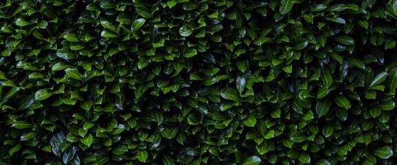 Obraz Laurier cerise (Prunus laurocerasus). Mur de feuille d'un buisson abstrait vert. Bannière, texture et arrière plan en volume - fototapety do salonu