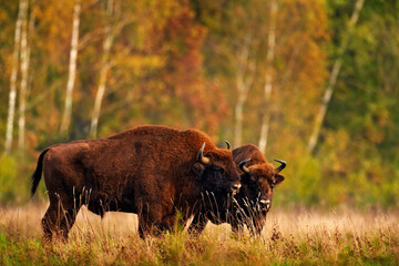 Obraz Bison herd in the autumn forest, sunny scene with big brown animal in the nature habitat, yellow leaves on the trees, Bialowieza NP, Poland. Wildlife scene from nature. Big brown European bison. - fototapety do salonu
