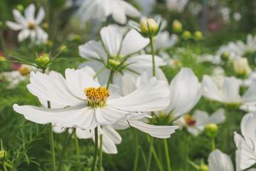 Obraz Biały kwiat Kosmos - fototapety do salonu