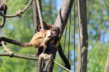 Closeup shot of a tufted capuchin or brown capuchin (Sapajus apella) on the rope