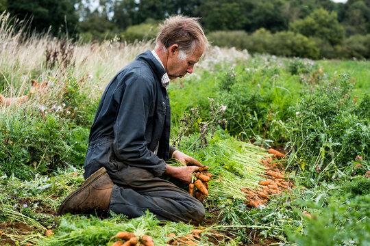 Senior man, farmer kneeling in field harvesting carrots