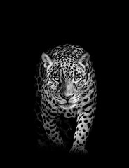 Leopard face profile , animal abstract isolated
