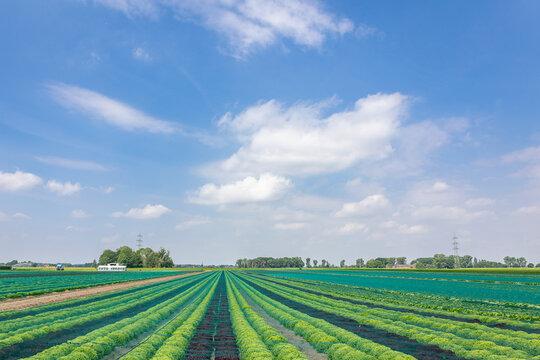 Feld mit Salat vor blauem himmel