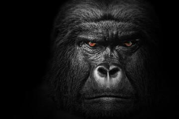 Gorilla mammal animal , black white wildlife single