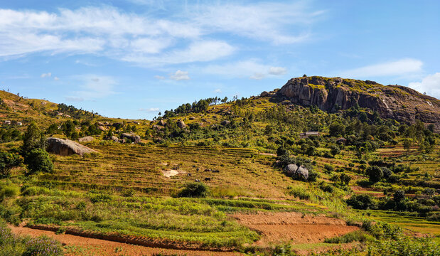 Typical Madagascar landscape - green and yellow rice terrace fields with zebu cattle on small hills with clay houses in region near Ambositra