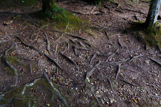 Expanse of tree roots that emerge from the ground. Umbrian forest, Gargano promontory, Italy