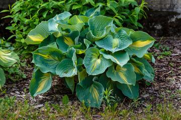 Obraz Hosta (lat. Hosta) in garden. Hosta - genus of perennial herbaceous plants of the family Green. - fototapety do salonu