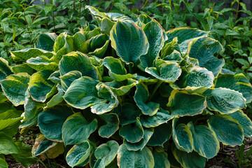 Hosta (lat. Hosta) in garden. Hosta - genus of perennial herbaceous plants of the family Green....