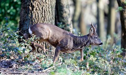 Male roe deer in the woods