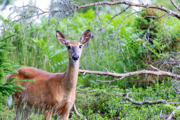 roe deer in the woods