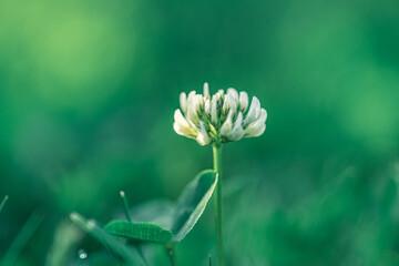 Obraz kwiat koniczyny białej, koniczyna rozesłana (Trifolium repens) - fototapety do salonu