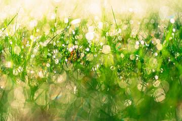 Obraz soczysta zielona trawa w porannej rosie jako tło - fototapety do salonu