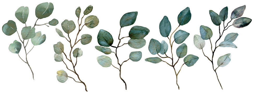 Watercolor Eucalyptus collection. Spring greenery. Wedding floral illustration.