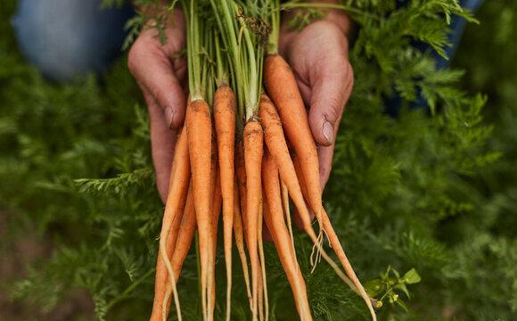 Gardener demonstrating fresh organic carrots