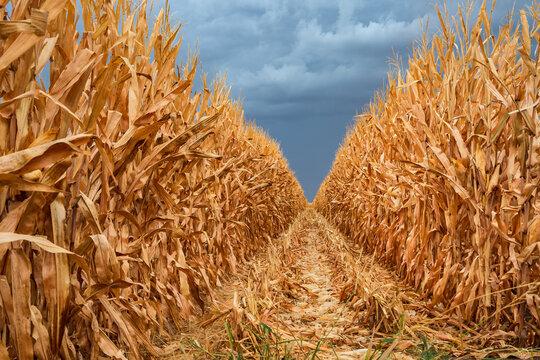 Looking along a row of dried corn under a dark sky