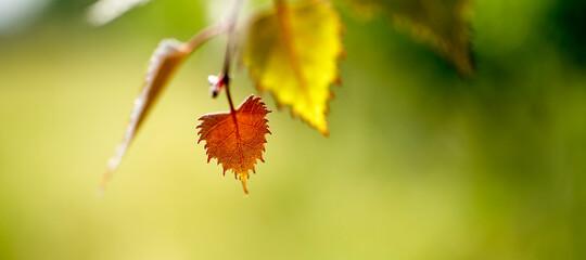 kolorowe liście z krzewu winogrona