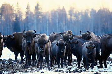 Oerosbizon in de natuur / winterseizoen, bizon in een besneeuwd veld, een grote stierbufalo