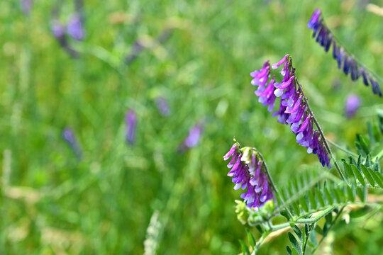 Zottige Wicke (Vicia villosa) in grünem Umfeld