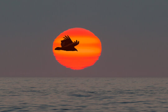 Sunset at the Pacific coast of Chile: silhouette of a flying Turkey Vulture (Cathartes aura) against setting sun