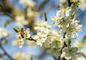 Die ersten Obstblüten im März und April ziehen viele Insekten an, auch bei Honigbienen eine beliebte Nahrungsquelle.