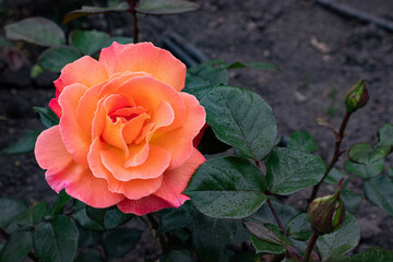 Obraz róża, pomarańczowy kwiat, ogród różany, przyroda, kwiaty, róża - fototapety do salonu